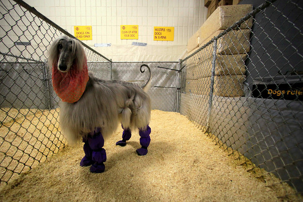 An Afghan hound has his ears and feet covered while using the dog toilet backstage during the 134th Westminster Kennel Club Dog Show, Monday, Feb. 15, 2010 in New York. There are 2,500 dogs competing at Madison Square Garden for the best in show, to be awarded Tuesday night. (AP Photo/Mary Altaffer)