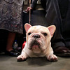 Tate, a 2-year-old French bulldog from Pennsburg, Pa., waits to compete in the wings during the 134th Westminster Kennel Club Dog Show, Monday, Feb. 15, 2010 in New York. There are 2,500 dogs competing at Madison Square Garden for best in show, to be presented Tuesday night. (AP Photo/Mary Altaffer)