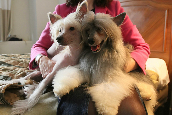 Zina, left, and Misko, both Chinese Crested dogs, sit on the lap of their owner Shauna Gray, from Pefferlaw, Ontario, in their room at the Pennsylvania Hotel in New York, Sunday Feb. 14, 2010. The 134th Westminster Kennel Club Dog Show will take place Feb. 15 and 16 at New York's Madison Square Garden. Misko is scheduled to compete in the show.  (AP Photo/Tina Fineberg)
