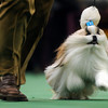 Austin, a Shih Tzu, finished third in the toy group at the Westminster Kennel Club Dog Show in Madison Square Garden in New York, Monday, Feb. 15, 2010. (AP Photo/Henny Ray Abrams)