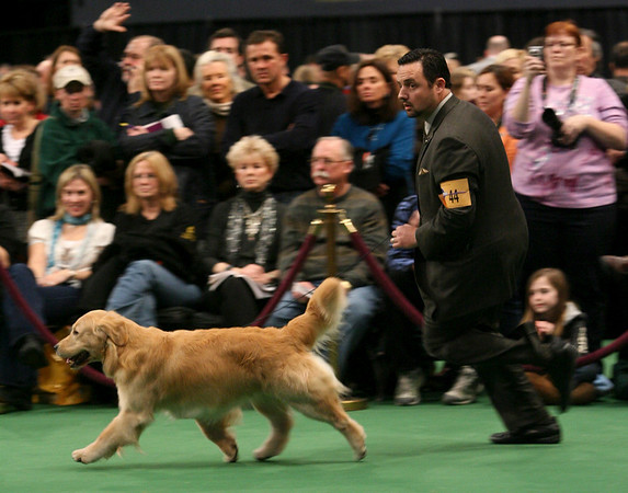 Clint Livingston shows Treasure a 5-year-old golden retriever in the ring during the 134th Westminster Kennel Club Dog Show, Tuesday, Feb. 16, 2010 in New York. There are 2,500 dogs competing at Madison Square Garden for the coveted title of best in show. The top prize will be presented Tuesday night. (AP Photo/Mary Altaffer)