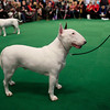 Violet, a 3-year-old White Bull Terrier from Somers, Ct.,  competes in the ring during the 134th Westminster Kennel Club Dog Show, Tuesday, Feb. 16, 2010 in New York. There are 2,500 dogs competing at Madison Square Garden for the coveted title of best in show. The top prize will be presented Tuesday night. (AP Photo/Mary Altaffer)