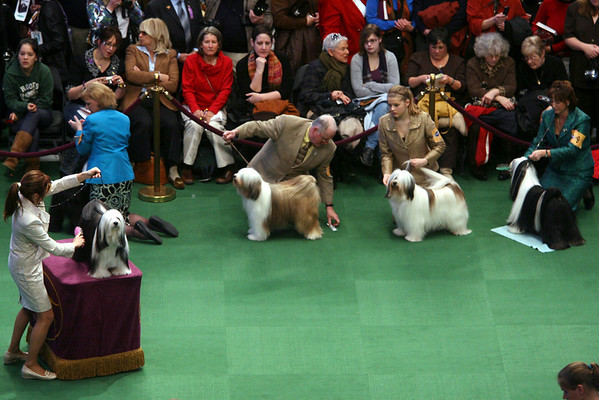 Tibetan terriers are judged during the 134th Westminster Kennel Club Dog Show, Monday, Feb. 15, 2010 in New York. There are 2,500 dogs competing at Madison Square Garden for the title best in show, to be presented Tuesday night (AP Photo/Mary Altaffer)