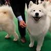 Samoyeds compete in the ring during the 134th Westminster Kennel Club Dog Show, Tuesday, Feb. 16, 2010 in New York. There are 2,500 dogs competing at Madison Square Garden for the coveted title of best in show. The top prize will be presented Tuesday night. (AP Photo/Mary Altaffer)
