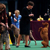 Gedeon, a vizsla, looks to the animal's handler, Alessandra Folz, during the sporting dog group at the Westminster Kennel Club Dog Show in Madison Square Garden in New York, Tuesday, Feb. 16, 2010. (AP Photo/David Goldman)