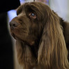 Westminster_Dog_Show_NY(36).JPG A Sussex spaniel named Stump winner of Best in Show at the 133rd Westminster Kennel Club Dog Show looks on before a fundraiser for Angel on a Leash, a therapy dog organization, Saturday, Feb. 13, 2010  in New York. Competition in the 134th Westminster Kennel Club Dog Show will take place Feb. 15 and 16 at Madison Square Garden. (AP Photo/Frank Franklin II)