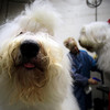 Old English Sheep Dogs Mr. Winston, left, and Elvis are groomed backstage by Jere Marder of Valparaiso, Indiana, during the 134th Westminster Kennel Club Dog Show, Monday, Feb. 15, 2010 in New York. There are 2,500 dogs competing at Madison Square Garden for the coveted title of best in show. The top prize will be presented Tuesday night. (AP Photo/Mary Altaffer)