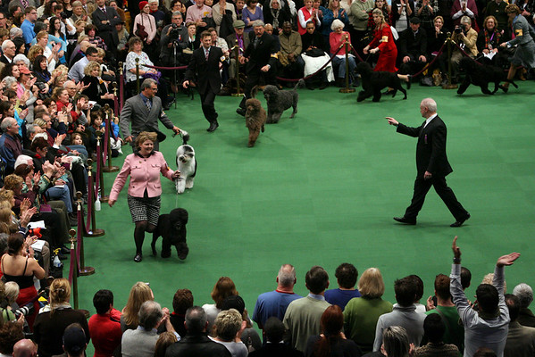 Portuguese Water Dogs compete in the ring during the 134th Westminster Kennel Club Dog Show, Tuesday, Feb. 16, 2010 in New York. There are 2,500 dogs competing at Madison Square Garden for the coveted title of best in show. The top prize will be presented Tuesday night. (AP Photo/Mary Altaffer)