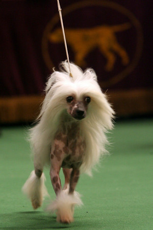 A Chinese crested competes in the ring during the 134th Westminster Kennel Club Dog Show, Monday, Feb. 15, 2010, in New York. There are 2,500 dogs competing at Madison Square Garden for the title of best in show, scheduled to be presented Tuesday night. (AP Photo/Mary Altaffer)