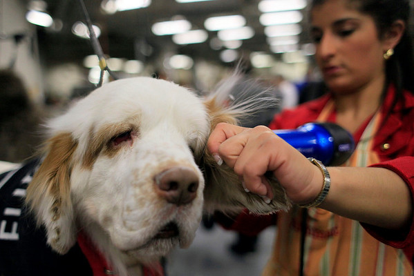 Ann Marie Ruggieri grooms Sherman, a Cumber Spaniel, backstage during the 134th Westminster Kennel Club Dog Show, Tuesday, Feb. 16, 2010 in New York. (AP Photo/Mary Altaffer)