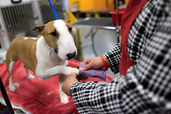 Edwina, a miniature bull terrier from St. Louis, Missouri, is groomed back stage by Alex Romero during the 134th Westminster Kennel Club Dog Show, Tuesday, Feb. 16, 2010, in New York. There are 2,500 dogs competing at Madison Square Garden for the coveted title of best in show. The top prize will be presented Tuesday night. (AP Photo/Mary Altaffer)