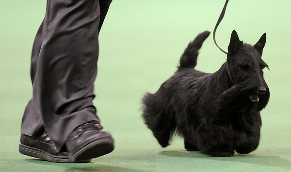 APTOPIX_Dog_Show_NYHA104.JPG Sadie, a Scottish terrier, takes part in the terrier group at the Westminster Kennel Club Dog Show at Madison Square Garden in New York, Tuesday, Feb. 16, 2010. Sadie won the group. (AP Photo/Henny Ray Abrams)