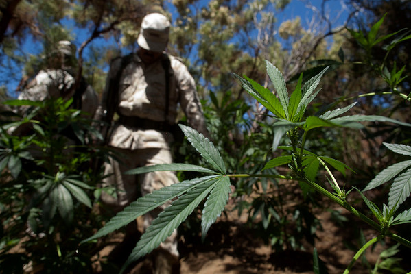 Soldiers walk through marijuana plants at an illegal plantation found on the outskirts of Tecate, northern Mexico, Monday, Aug. 9, 2010. About 9 different marijuana plantations, with some 50,000 plants, where found by the army while patrolling the area, officials said. (AP Photo/Guillermo Arias)