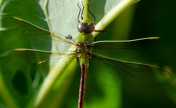 In this  Aug. 7, 2010 photo, a Common Green Darner dragonfly rests on a rhubarb leaf in Racine, Wis. (AP Photo/Journal Times, Scott Anderson)