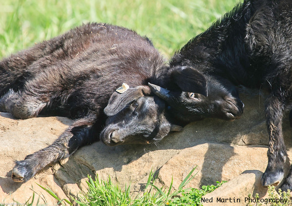 Affectionate goats, Spring Gate Farm, Virginia