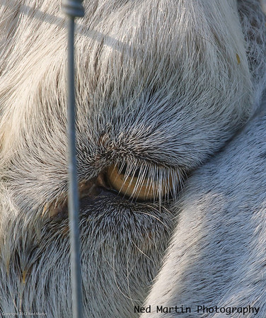 Goat's eye and lashes