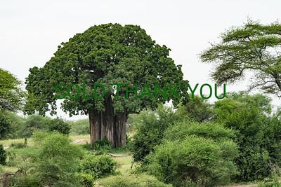 Baobab Tree -  Tanzania Africa - 12x18 Print $25
