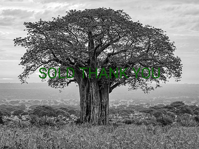 African Baobab/Serengeti Shade Limited Edition - Canvas - $275