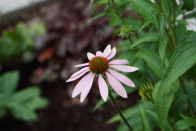 Purple Echinacea Card $4
