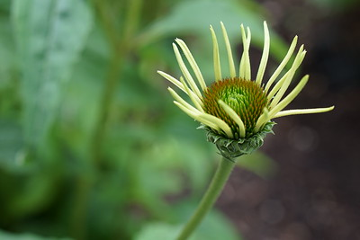Echinacea - Yellow Card $4