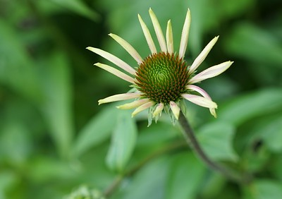 Yellow Echinacea Card $4
