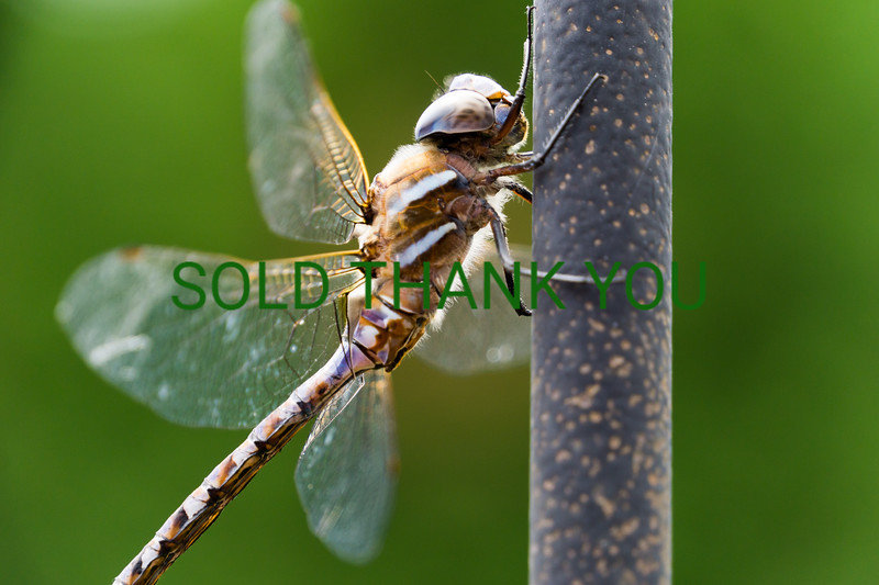 Dragon Fly - Matted Print $30