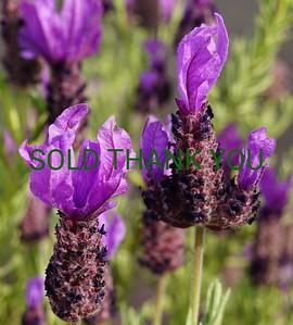 Lavender - Original $65