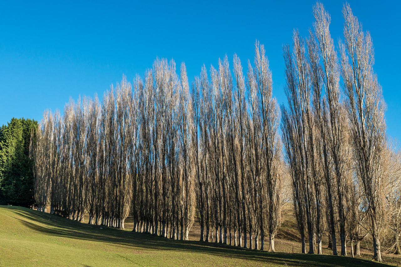 Poplars on Otokia Kuri Bush Road