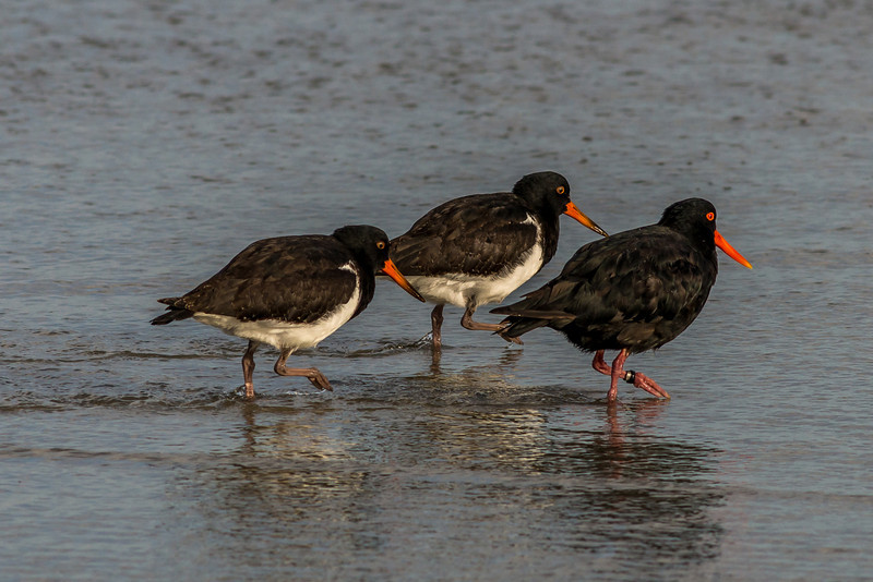 Variable oystercatcher / tōrea (Haematopus unicolor), Allans Beach