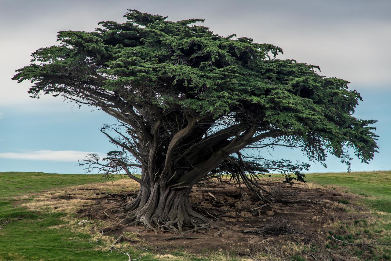 Lone Monterey cypress (Cupressus macrocarpa) above Hoopers Inlet, Otago Peninsula