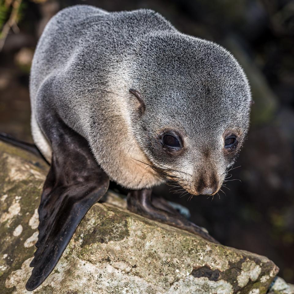 New Zealand fur seal / kekeno (Arctocephalus forsteri). Waterfall Bay, Otago Peninsula