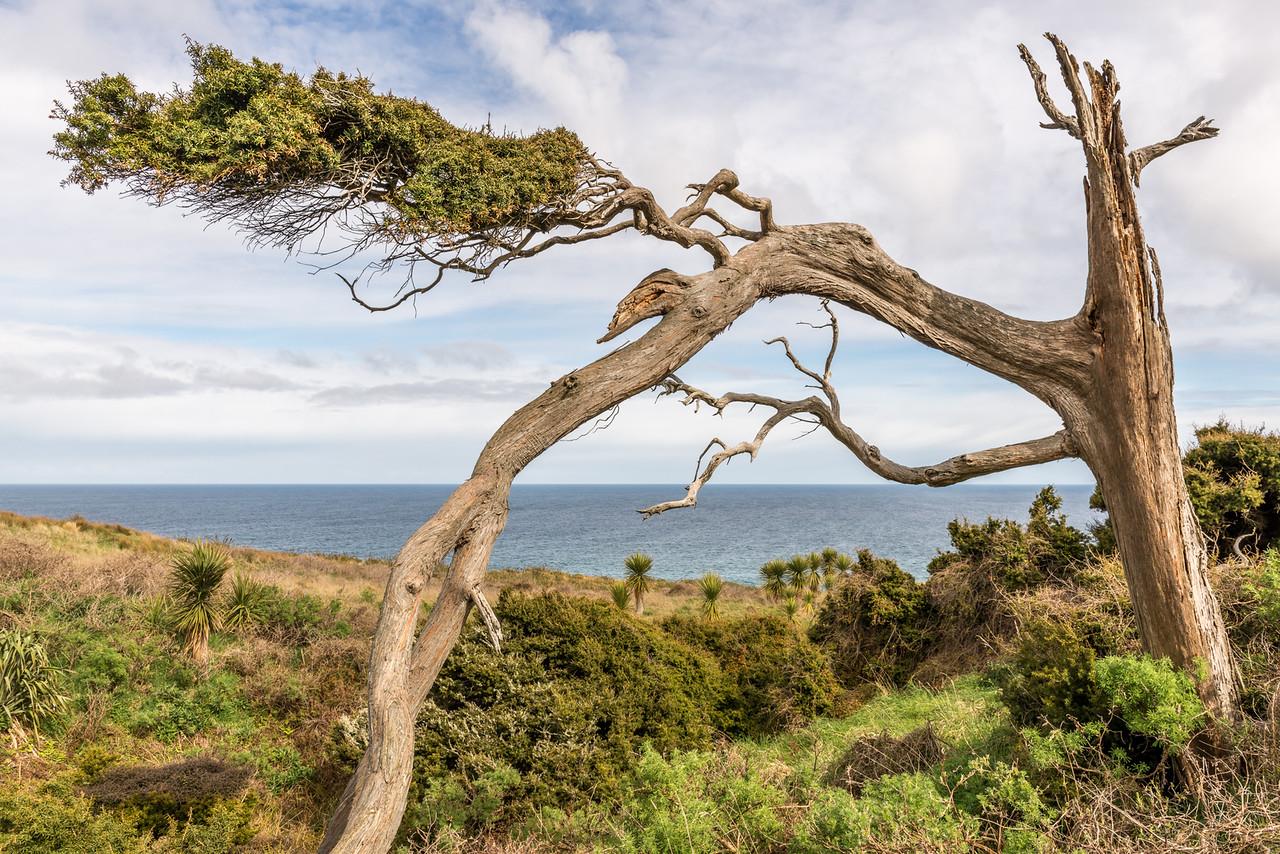 Tōtara (Podocarpus totara). Boulder Beach, Otago Peninsula.