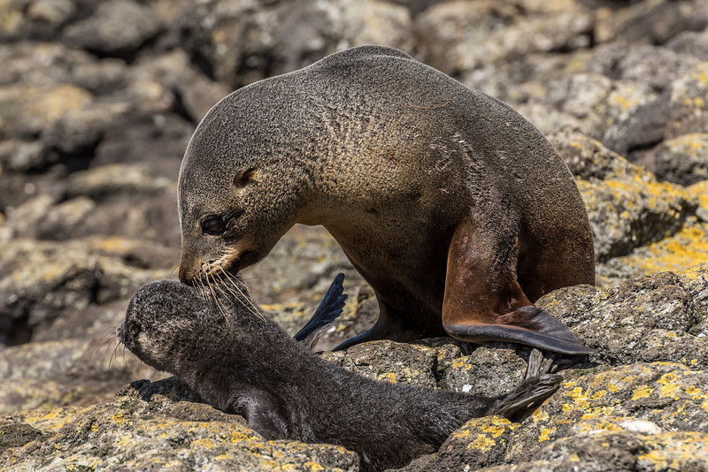 New Zealand fur seal / kekeno (Arctocephalus forsteri). Puddingstone Rock, Otago Peninsula