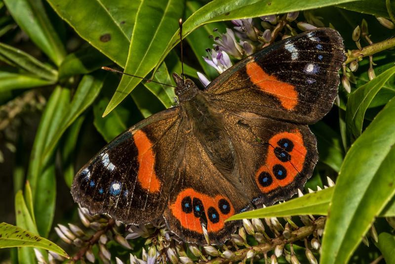 Red admiral butterfly / kahukura (Vanessa gonerilla) on koromiko (Hebe salicifolia). Mount Charles, Otago Peninsula