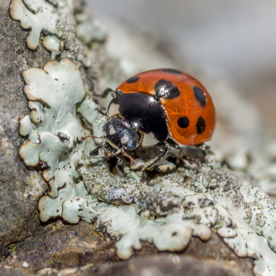 Elevenspotted ladybird (Coccinella undecimpunctata), an exotic beetle introduced from the United Kingdom to control aphids. Mount Charles, Otago Peninsula