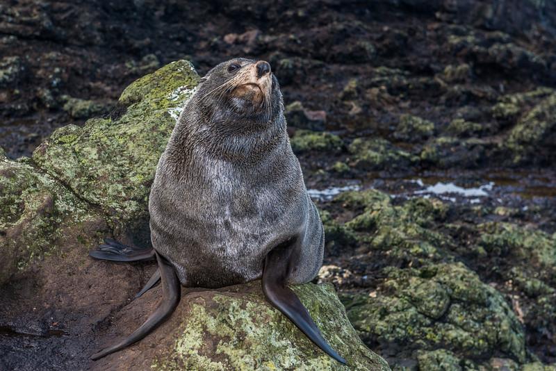 New Zealand fur seal / kekeno (Arctocephalus forsteri). Sandfly Bay, Otago Peninsula
