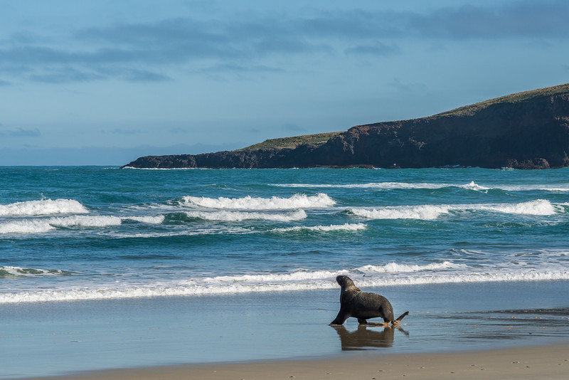 New Zealand sea lion / whakahao (Phocarctos hookeri). Sandfly Bay, Otago Peninsula