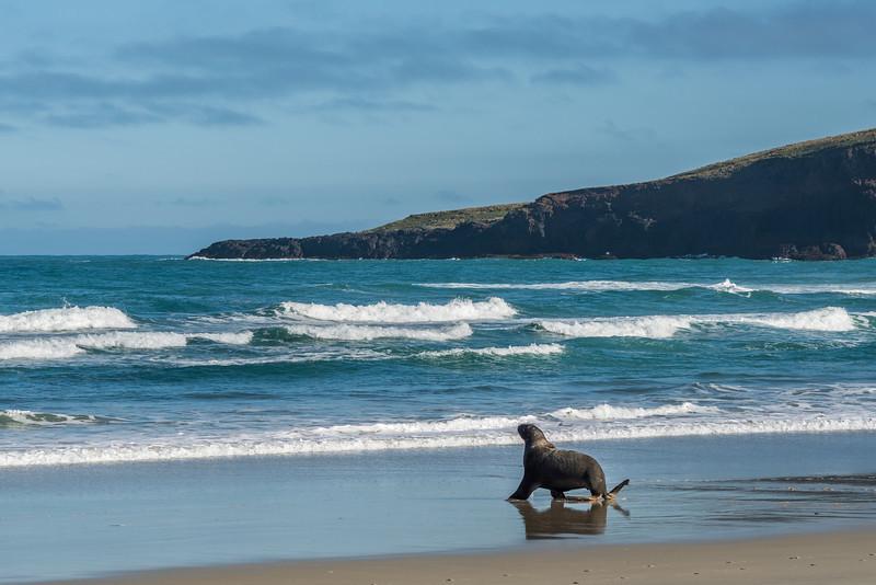 New Zealand sea lion / whakahao (Phocarctos hookeri). Sandfly Bay, Otago Peninsula
