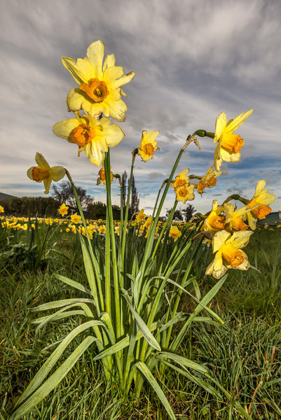 Wild daffodil (Narcissus pseudonarcissus). Ewing Phosphate, Milton