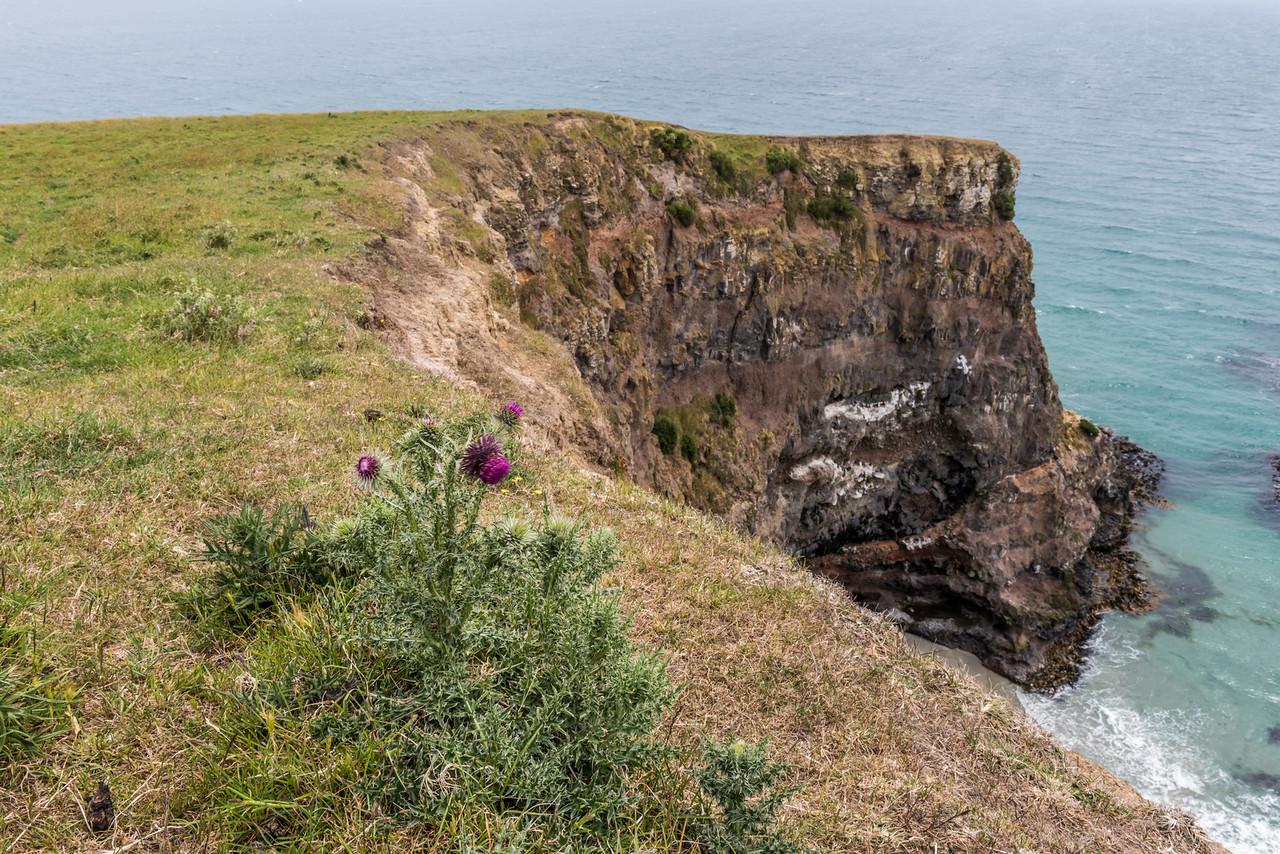 Nodding thistle (Carduus nutans). Heyward Point, Dunedin.