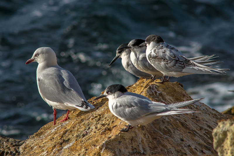 White-fronted terns (Sterna striata) and red-billed gull (Chroicocephalus novaehollandiae ssp. scopulinus), Aramoana