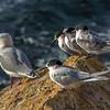 White-fronted terns (Sterna striata) and red-billed gull (Larus novaehollandiae), Aramoana