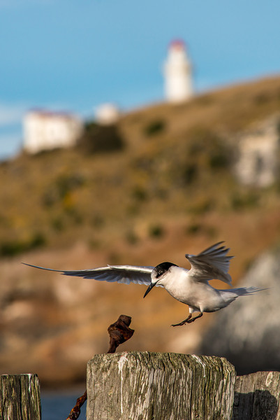 White-fronted tern (Sterna striata) in front of the Taiaroa Head Lighthouse, Aramoana