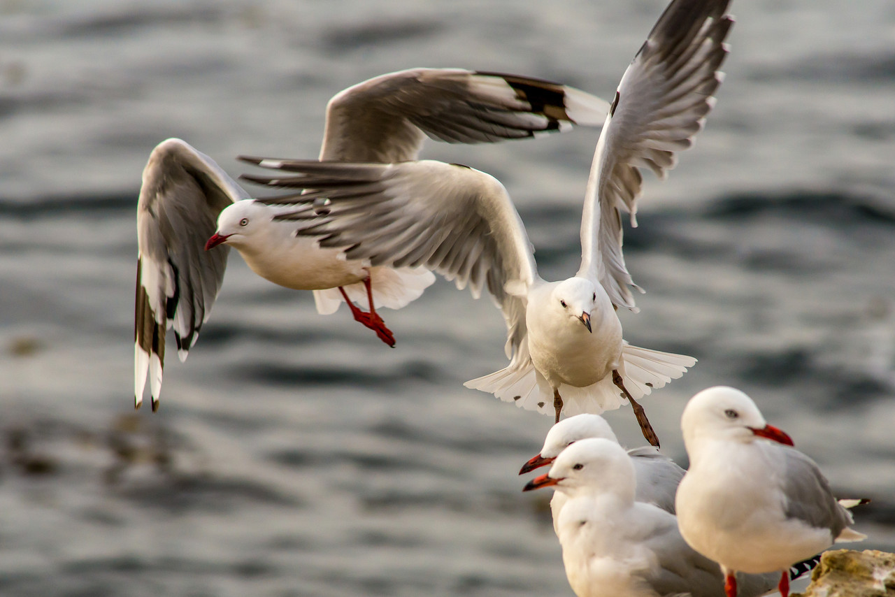 Red-billed gull (Larus novaehollandiae), Aramoana