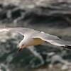 Red-billed gull (Larus novaehollandiae), Aramoana
