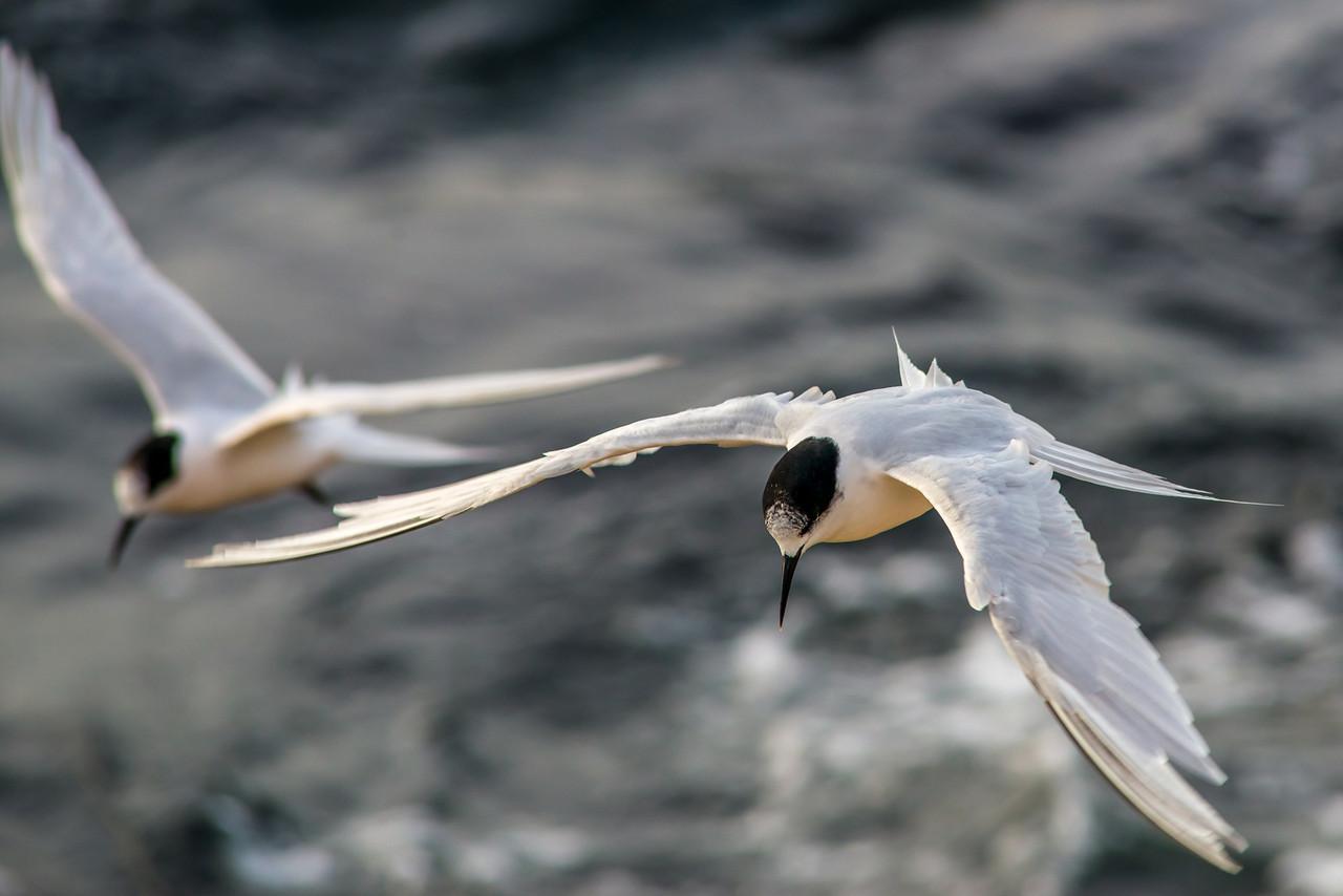 White-fronted tern (Sterna striata), Aramoana