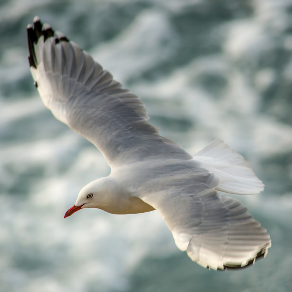 Red-billed gull (Chroicocephalus novaehollandiae ssp. scopulinus), Aramoana