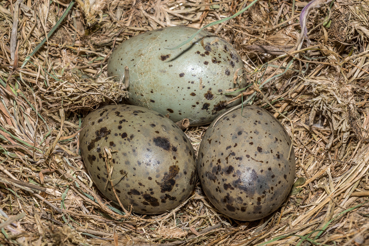 Southern black-backed gull / karoro (Larus dominicanus) nest with eggs. Notice how the rear egg has started cracking, and is about to hatch!