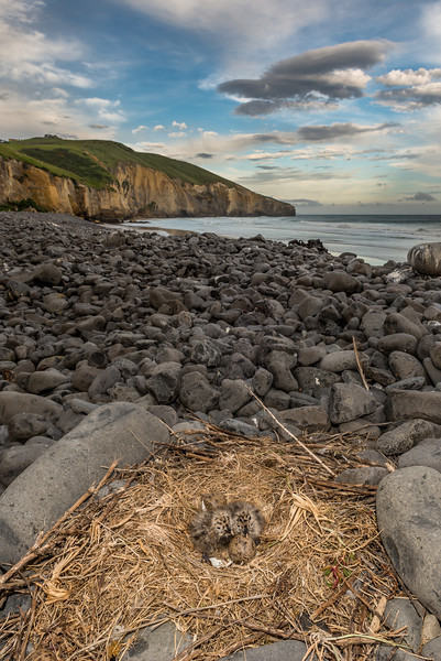 Southern black-backed gull / karoro (Larus dominicanus) nest with chicks