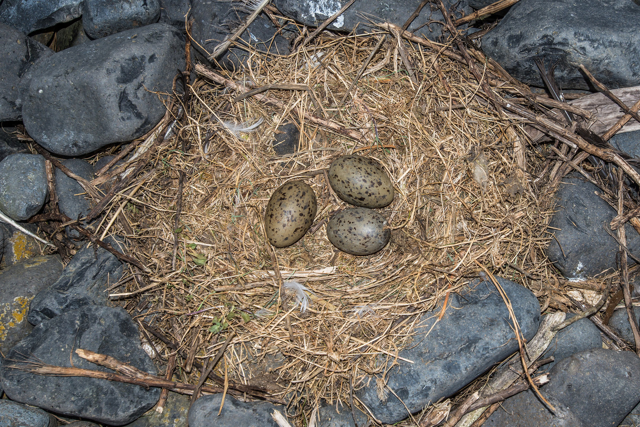 The nest of a southern black-backed gull / karoro (Larus dominicanus)
